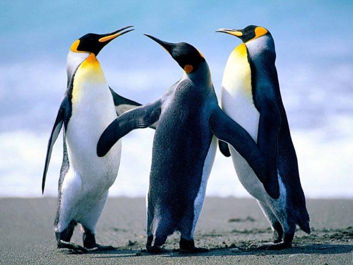 penguins fighting